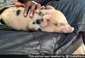 Mario Balotelli acquires pet piglet