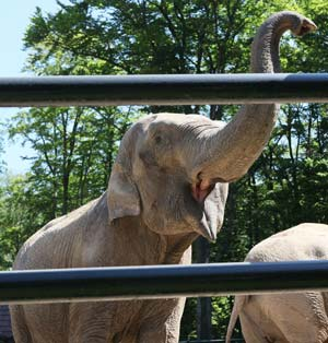 Euro 2012: Citta the elephant to sniff out winners